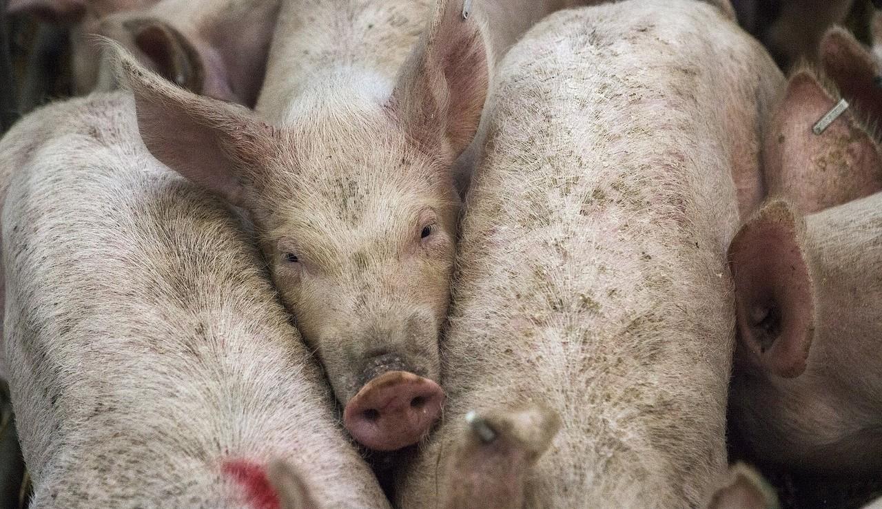 pigs-678199_1280