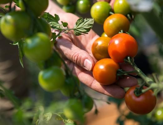 fruit-tomate-agriculture-femme