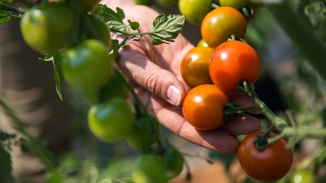 fruit-tomate-agriculture-femme