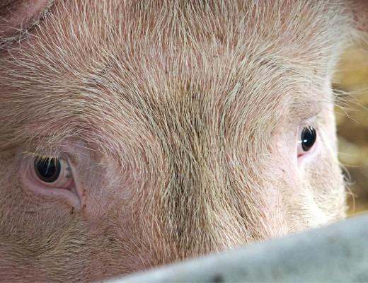 pig-1639584_1280